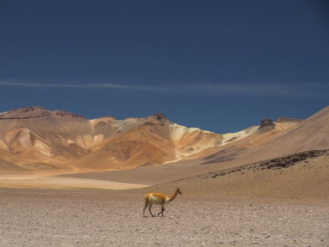 alone vicuna in the desert Sud-Lipez